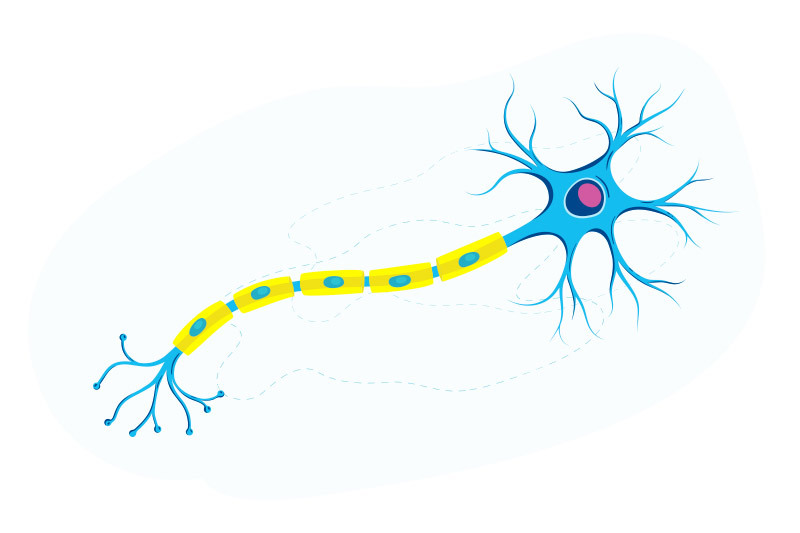 illustration of nerve cell and axons emphasizing myelin sheath in yellow